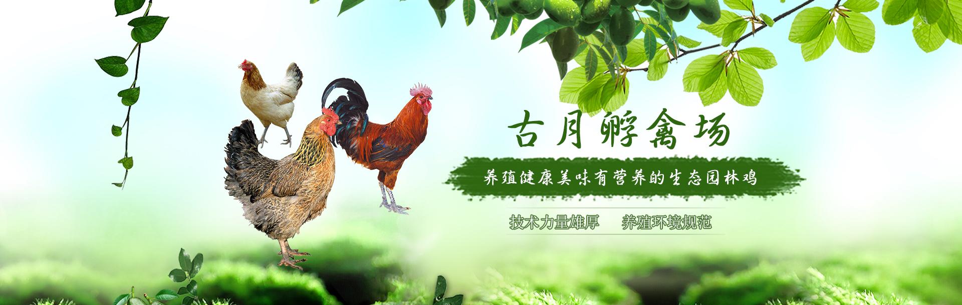 花凤鸡鸡蛋